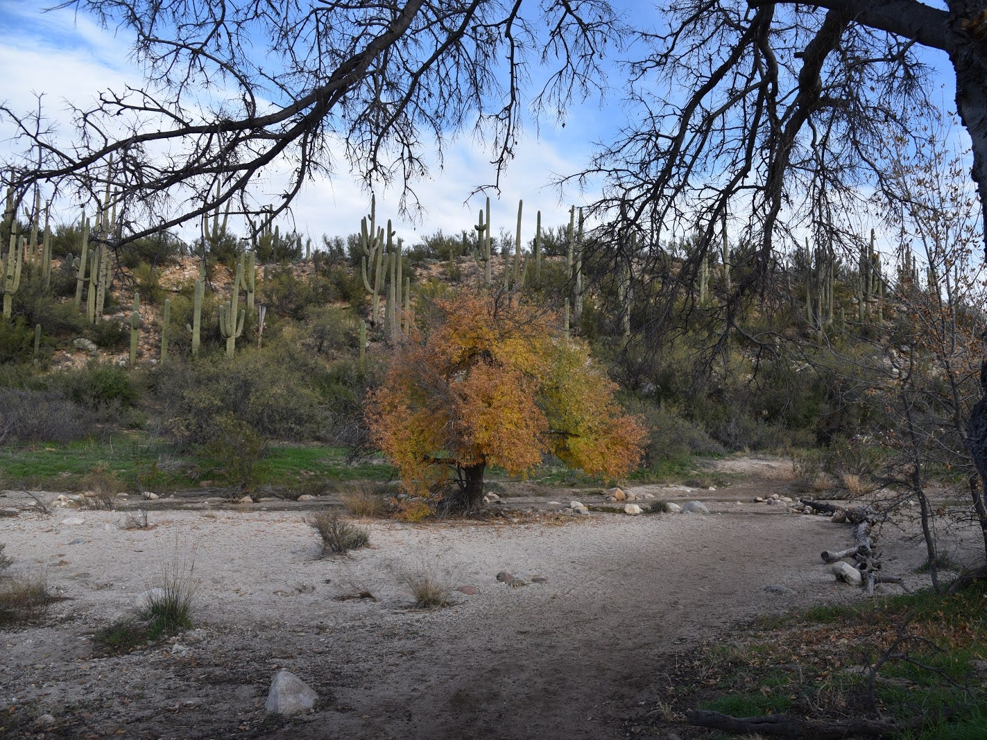 Saguaros and riparian plants grow in close proximity along the Sutherland Trail.
