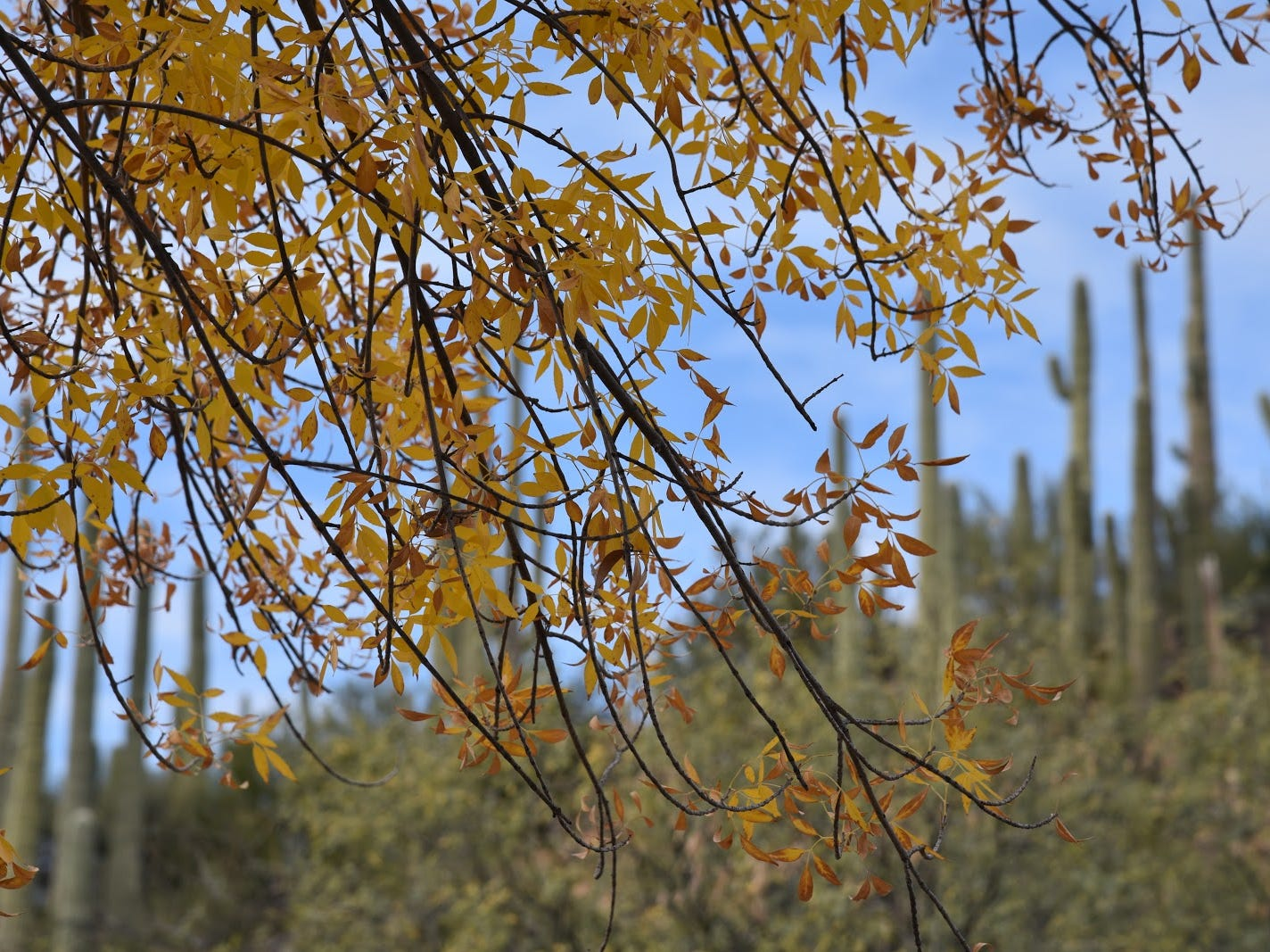 An Arizona ash tree frames a saguaro-studded ridge.
