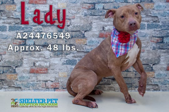 Lady, a pit bull, is the San Angelo Animal Shelter's longest stay at 10 months. The volunteers describe her as sweet, but a little shy.