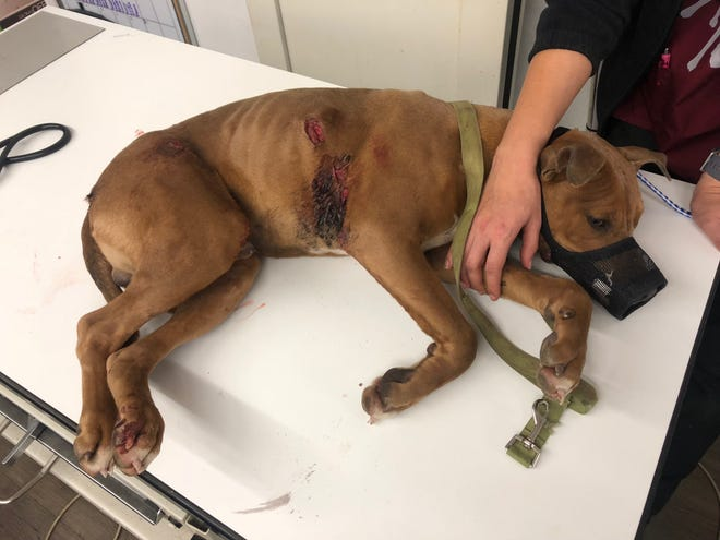 A stray dog was found with bullet wounds on his right side Friday, Dec. 28, 2018.
