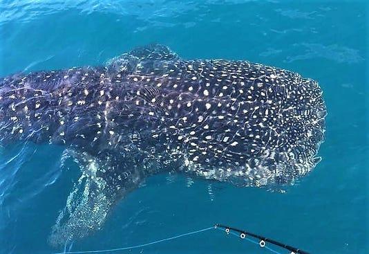 Whale Shark Alek 1