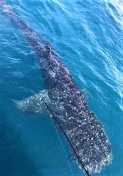 An estimated 20-foot long whale shark made a brief appearance for anglers aboard the Fort Pierce Lady party boat out of Fort Pierce City Marina.