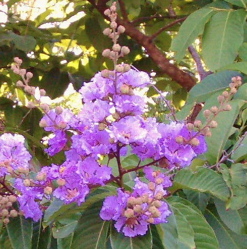 Queen's Crape Myrtle a good choice for Treasure Coast landscapes