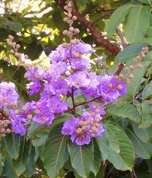 Plant Queen's Crape Myrtle in open spaces for the beautiful spreading form and magnificent flowers. Do not over-prune or top this tree, such pruning makes it more susceptible to failure during windstorms and hurricanes.