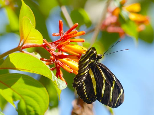 Zebra long wing butterfly, the Florida state butterfly, nectaring on firebush at the Oslo Riverfront Conservation Area.