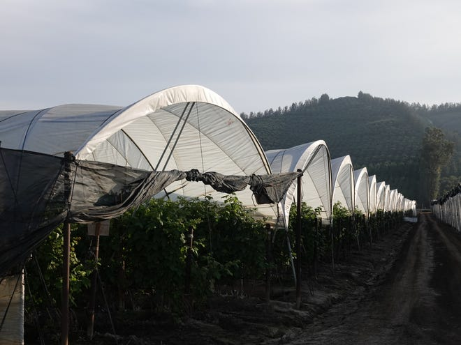 Hoop houses protect berries grown along Highway 118 near Somis as seen in December 2018.