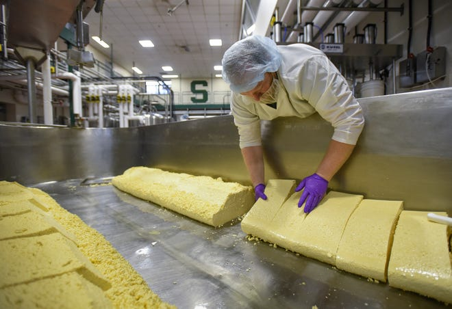 The process of making cheddar cheese curds starts with 700 gallons of pasteurized milk, ultimately yielding 600 lbs. of cheese curds. The MSU Dairy plant makes just over a dozen kinds of cheese, producing about 40,000 pounds annually.