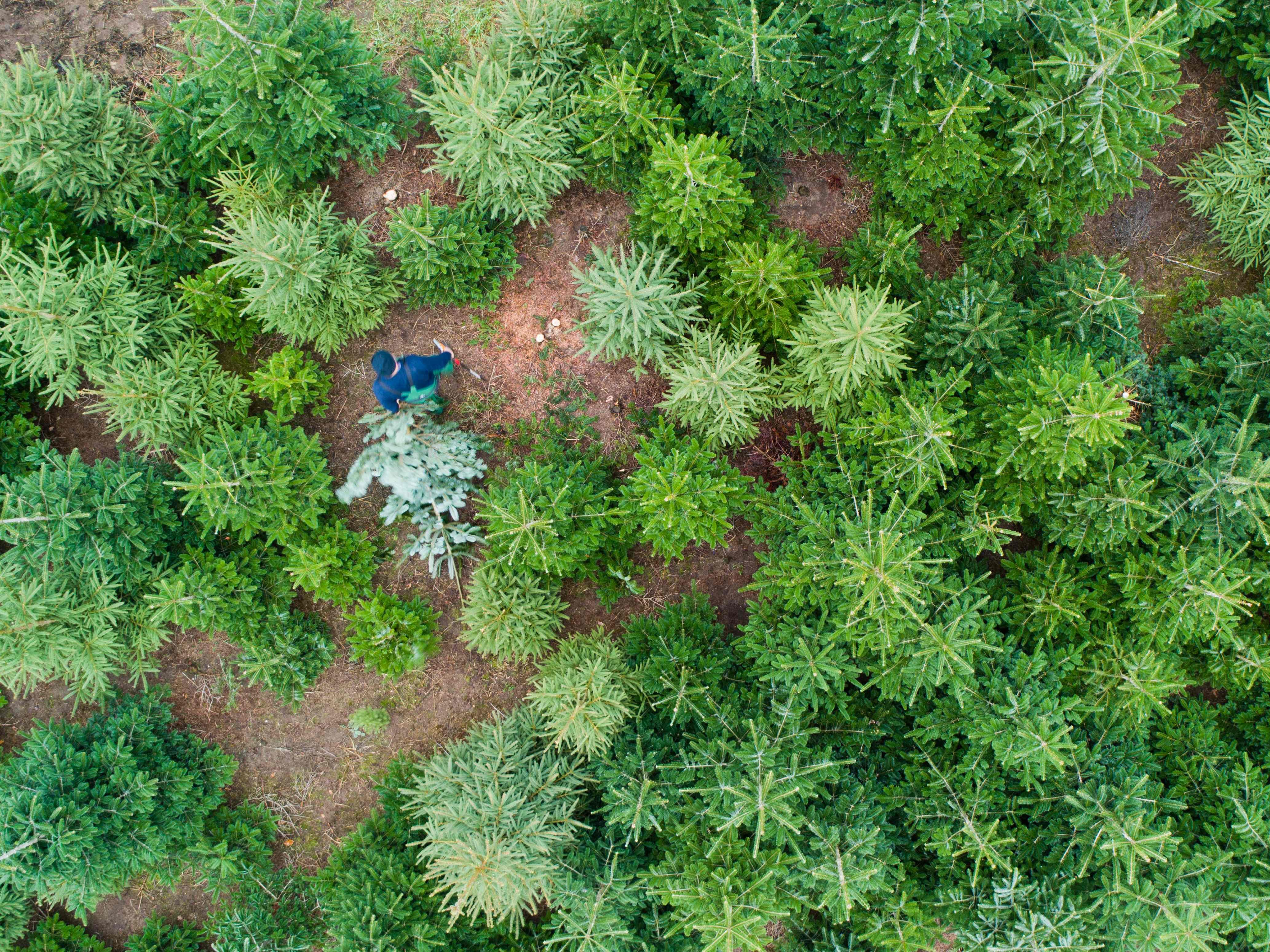 Aerial view taken on Dec. 18, 2018 shows a man transporting a Christmas tree at the Hof Backhaus fir tree plantation in Negenborn, Germany.
