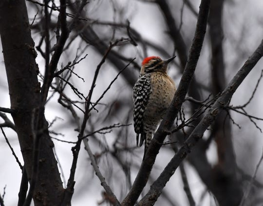 A ladder-backed woodpecker rests in a tree along the shore of Kirby Lake on Tuesday.