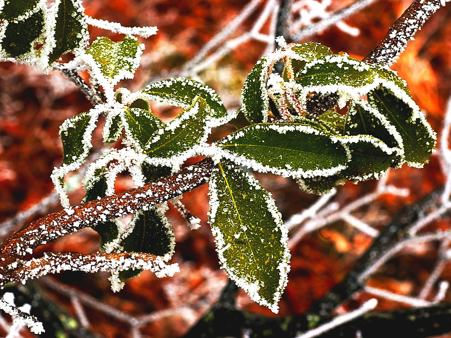 When clouds freeze on the trees, and bushes it forms the phenomenon is called rime ice. In Cambell County high above the Oneida exit along Interstate 75 in Campbell Co. near a service road to a water tower and cellphone tower Rime Ice formed recently on a Mountain Laurel bush.