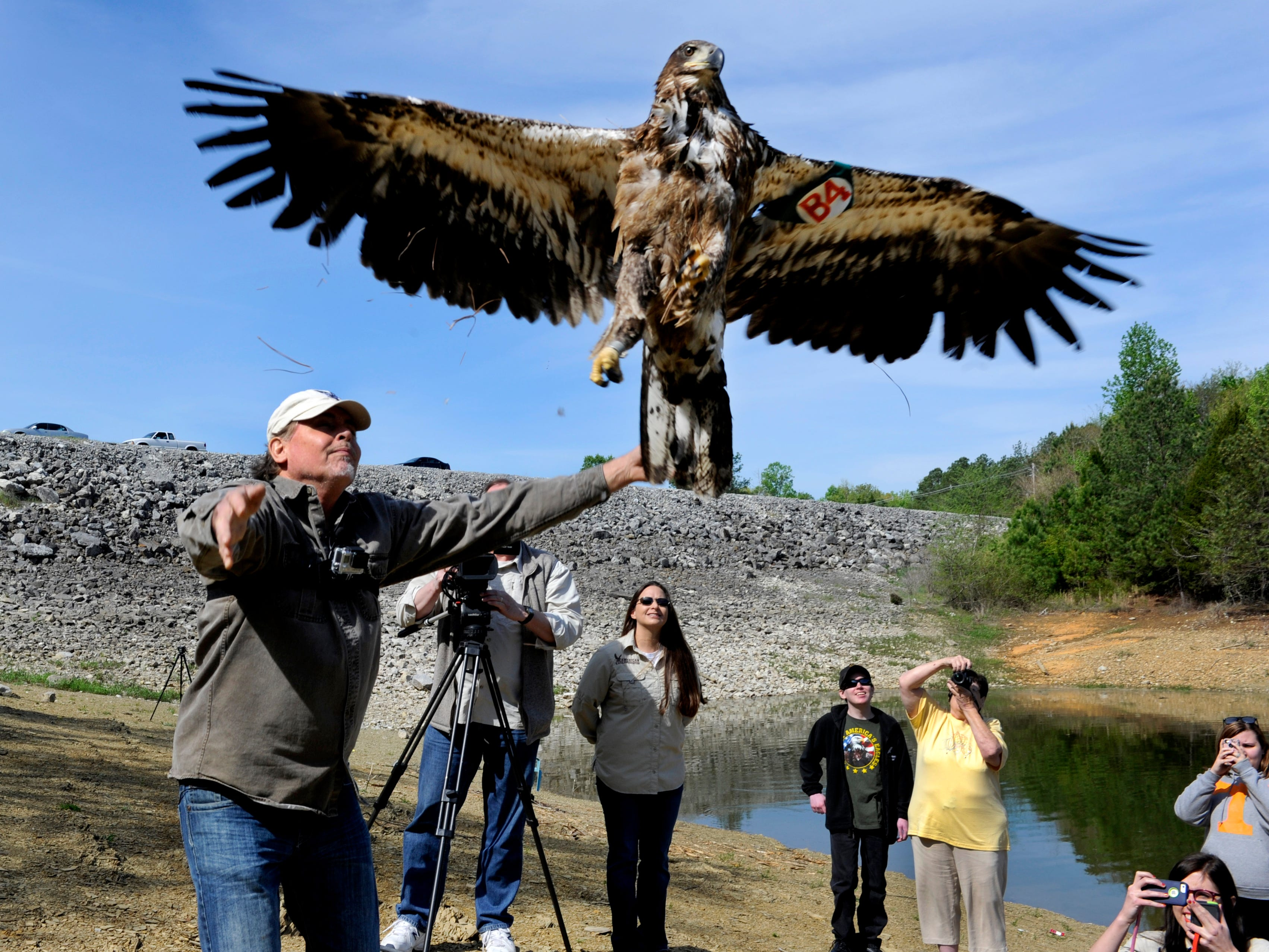 Al Louis Cecere with the American Eagle Foundation releases a bald eagle named Winfield along Douglas Lake Thursday, Apr. 24, 2014. The one-year-old male eagle is named after the Winfield Dunn Parkway where it was blown from its nest last spring.