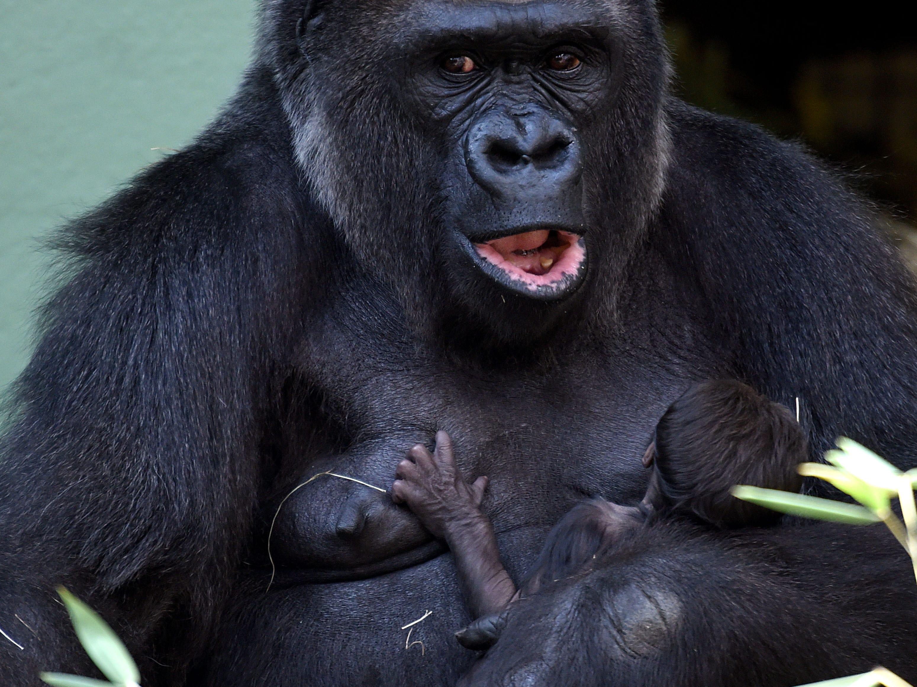 Kowali holds her yet unnamed baby gorilla Tuesday, September 13, 2016 at Zoo Knoxville where it was born on September 10, 2016. Bantu is the father of the baby gorilla.