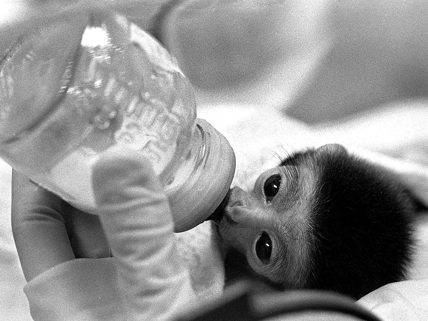 Man Lang, the tiny, female baby gibbon that now lives at the Knoxville Zoo, takes a big slug of a mixture of soybeans and milk June 29, 1979.