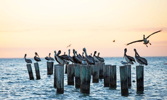 Brown Pelicans perch over the Gulf of Mexico at Naples Pier beach on Monday, Dec. 31, 2018.