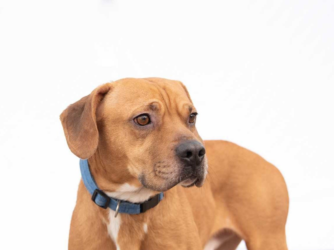 Droopy -  Male (neutered) pitbull mix, about 2 years old. Intake date: 3-28-2018