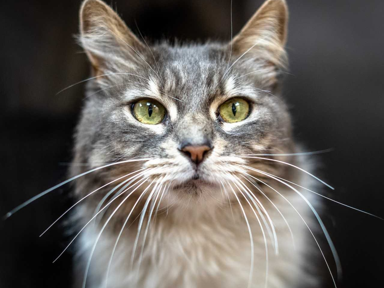 Lucky - Female (spayed) domestic medium hair, about 5 years old. Intake date: 11-27-2018