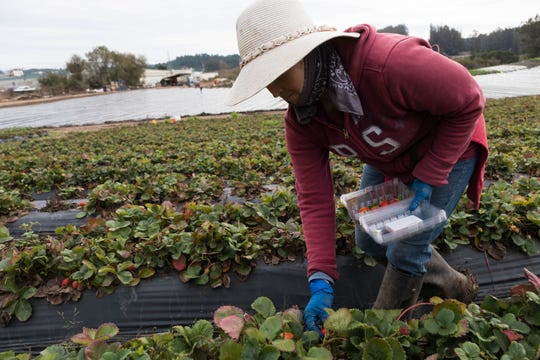 A worker picks strawberries on Bertha Magaña's farm in Prunedale.