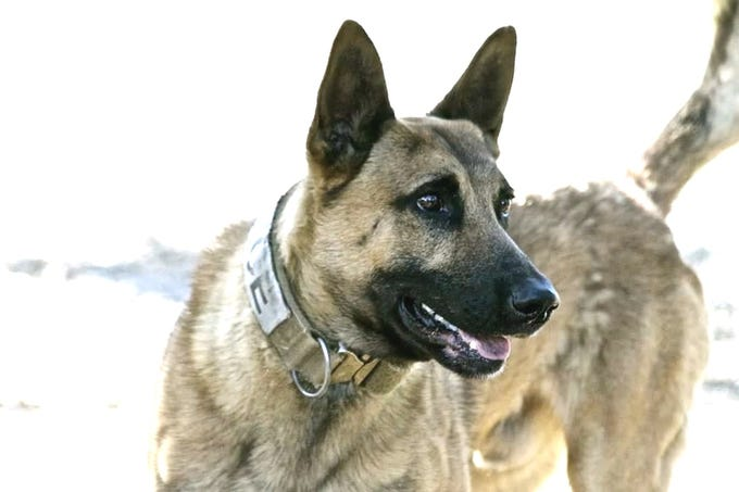 K-9 Chance of the Anderson Police Department was wounded in the left ear Saturday. Police say Chance was chasing an auto theft suspect when the man shot the dog in the ear with a handgun.