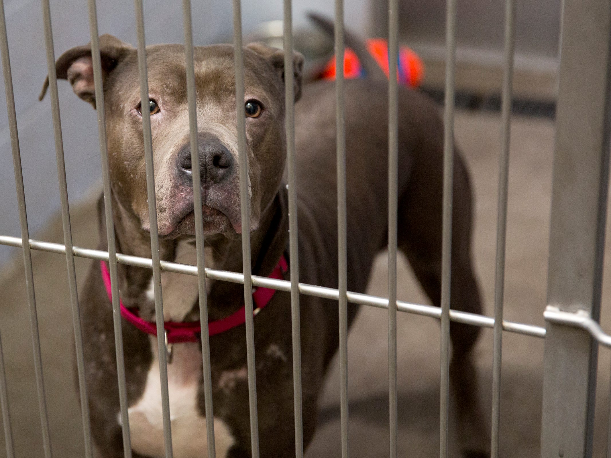 A dog looks through her cage as she waits to be adopted at the Willamette Humane Society in Salem on Monday, Dec. 31, 2018.