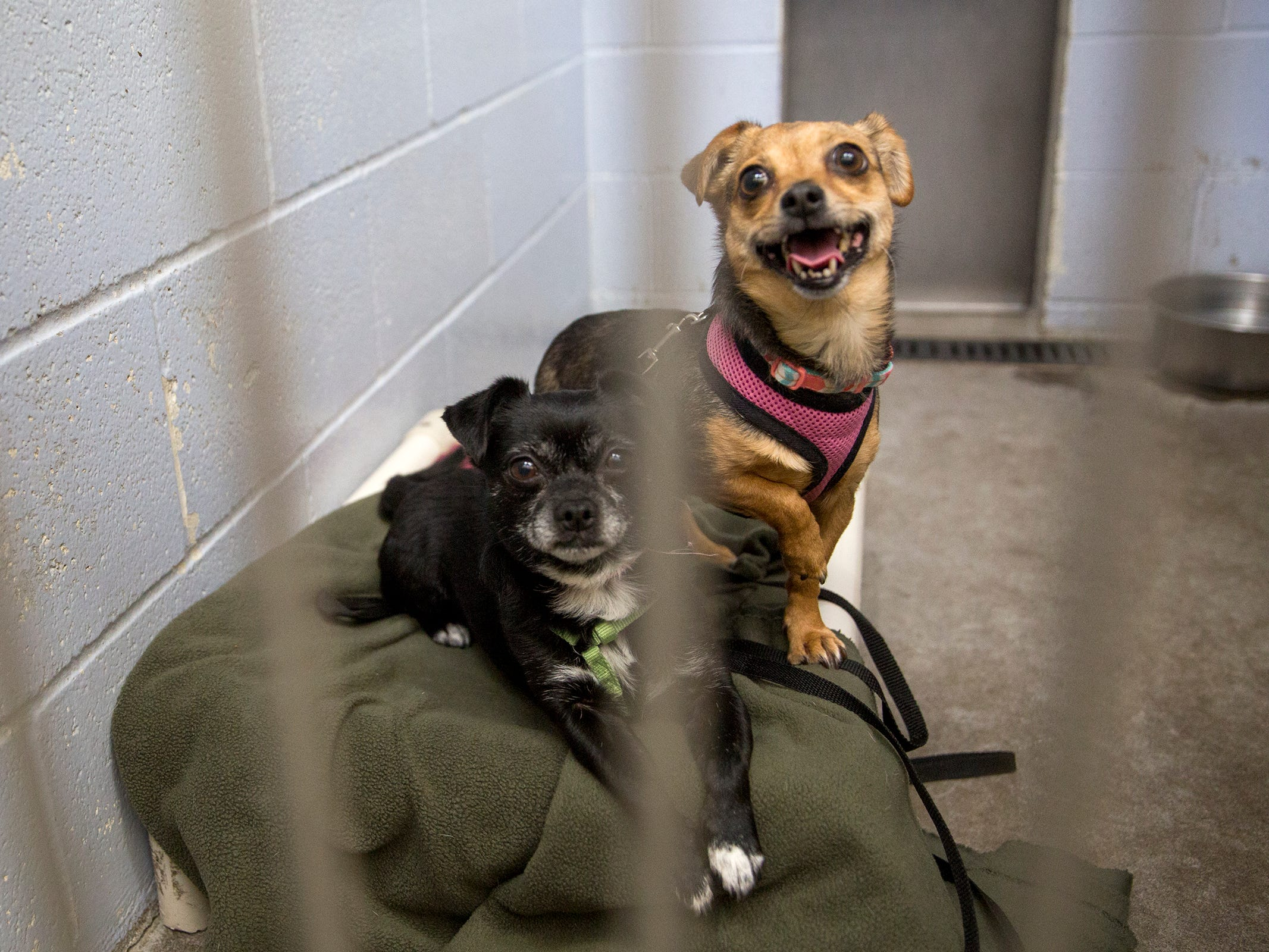 Two dogs wait to be adopted at the Willamette Humane Society in Salem on Monday, Dec. 31, 2018.