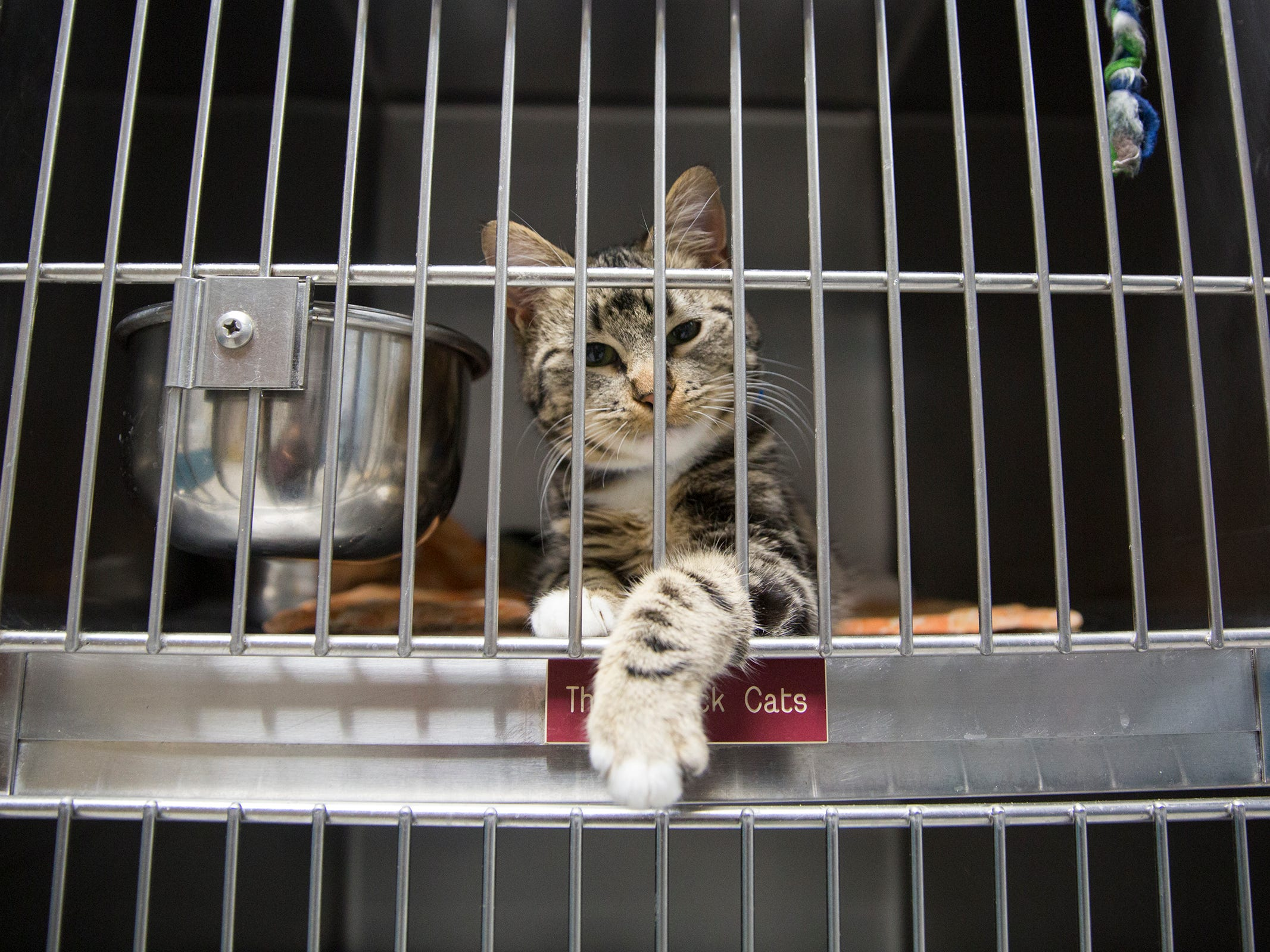 A pre-adopted cat reaches his paw out a cage at the Willamette Humane Society in Salem on Monday, Dec. 31, 2018.