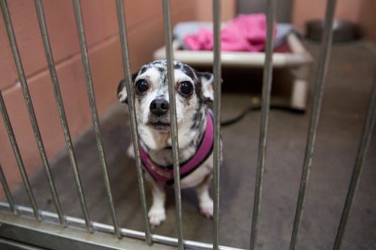 A chihuahua-mixed dog looks through his cage at the Willamette Humane Society in Salem on Monday, Dec. 31, 2018.