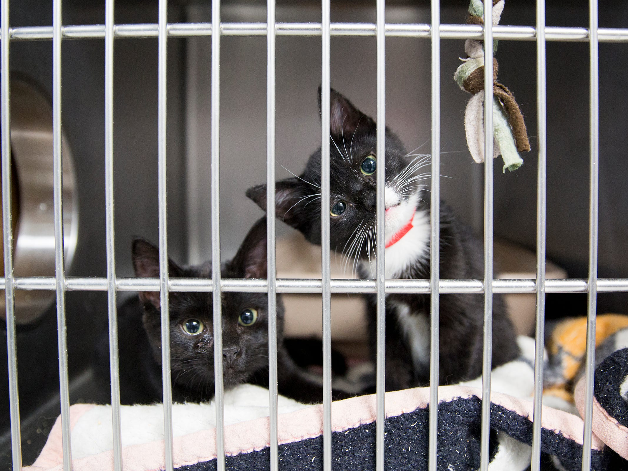 Cat siblings peep out of their cage at the Willamette Humane Society in Salem on Monday, Dec. 31, 2018.