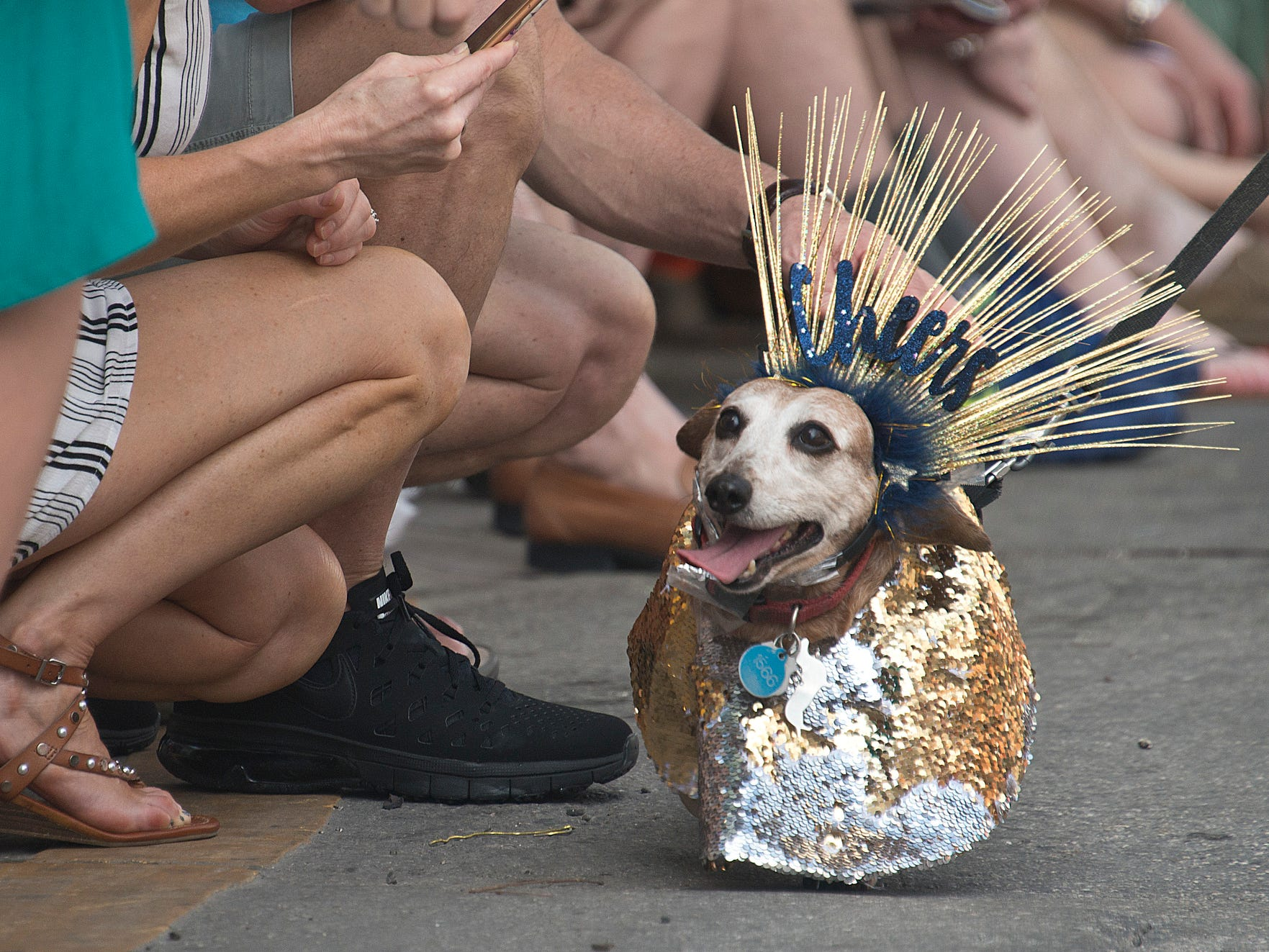A dachshund strolls past spectators in Key West, Fla., Monday, during the Key West Dachshund Walk. Organizers said that more than 300 short-legged, long-bodied canines participated in the event that preceded six warm-weather, Key West takeoffs on New York City's traditional Times Square ball drop.