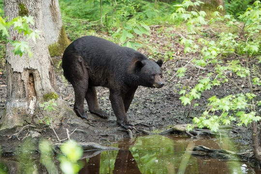 A black bear walks around Pocosin Lakes National Wildlife Refuge in coastal North Carolina. The black bear population is estimated at about 25,000 animals in the state.