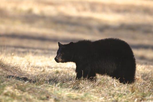 Black Bear Ken Taylor