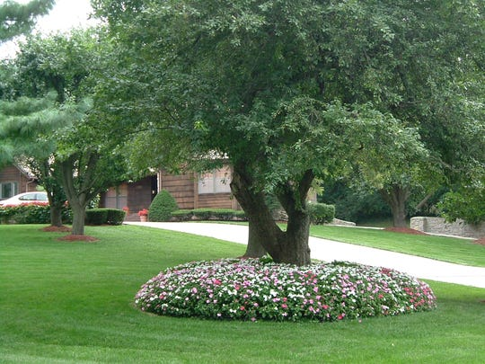 : Colorful impatiens thrive as a living mulch under a tree in this front yard. Note the trees in the background, with small mulch rings. These mulch rings could be larger, but even a small area of mulch around a tree helps control weeds and protects the tree trunks from being damaged by lawn mowers and string trimmers.