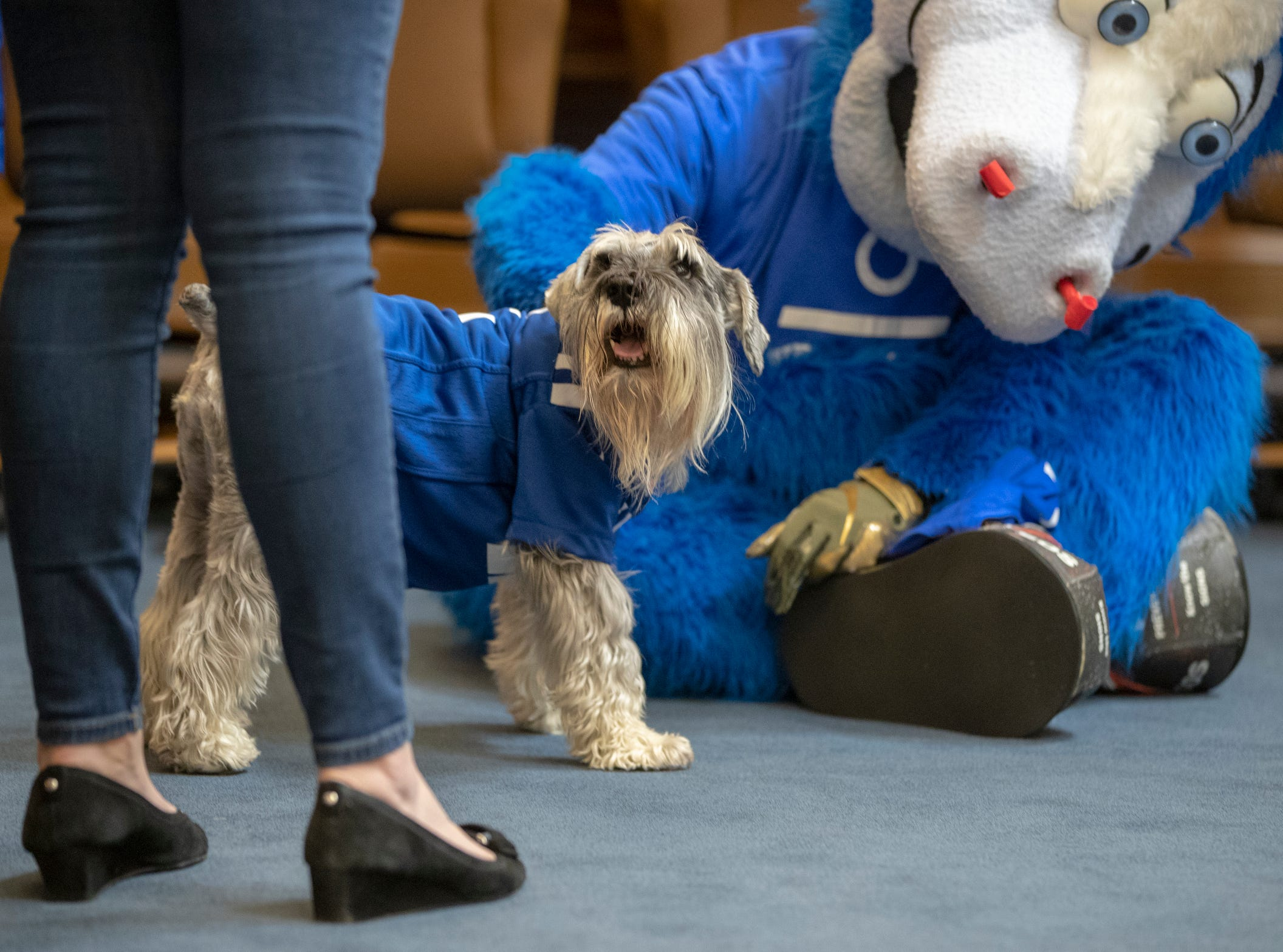 Blue, the Colts mascot, visits with Henry, Indiana's first dog, at the Governor's office at the Indiana Statehouse, Indianapolis, Wednesday, January 3, 2019. Blue had paid a visit to send cheer in advance of the team's Wild Card game this weekend in Houston.