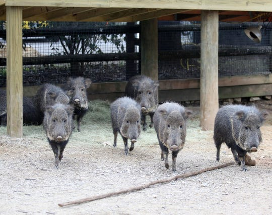 Zoo Knoxville has its own herd of peccaries.