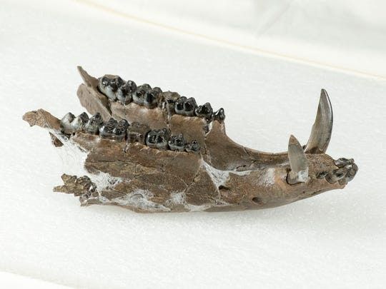 Part of a peccary skull fossil was found at the Grey Fossil Site. Scientists from East Tennessee State University recently discovered that these were two species of peccary never before seen in Appalachia.