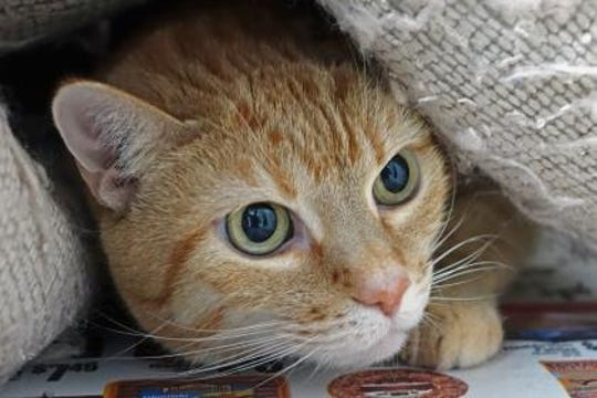 Sugar is one of the many cats already domesticated and  lucky enough to come to the shelter for adoption. With the grant, wilder cats that aren't that approachable, can be captured, neutered or spayed and then released again, knowing they cannot reproduce and add to the problem.