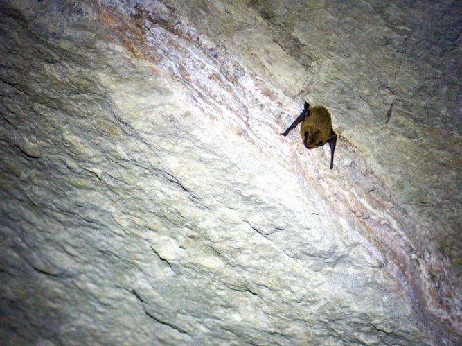 """A bat sleeps in an abandoned mine near Dragoon. There are an estimated 28 bat species in the state and old mines make good homes for them. """"Arizona has the second-highest bat diversity in the U.S.,"""" said Joel Diamond, a bat biologist at Arizona Game & Fish."""