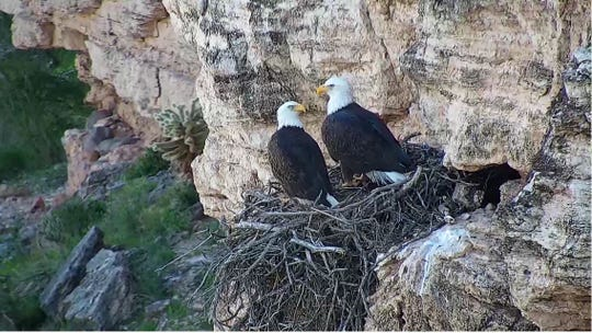 Arizona Game and Fish Department launched a live video feed of a bald eagle nest in Lake Pleasant Regional Park in Dec. 2018.