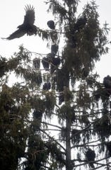 Numerous vultures perch on a grove of tall pine trees home across the the Post Office near the intersection of Smith Street and North Pleasant Ave. in Jacobus Wednesday January 2, 2019.