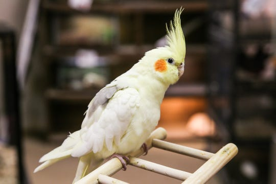 Omelet was a pet found over the summer and made a new home at the center. He likes to play and steal paper. Staff have noticed him squeezing his beak through the cage and trying to steals paper from the front desk.