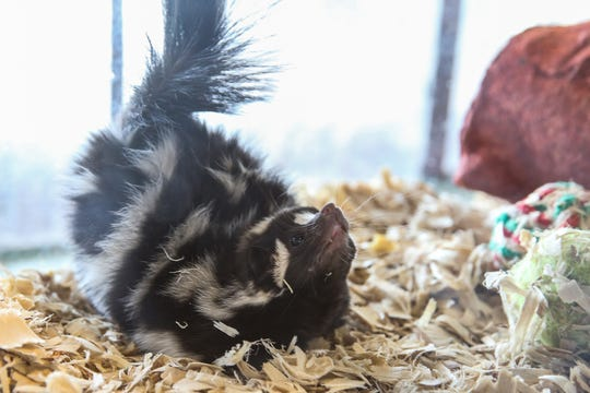 Zagnut is a western spotted skunk is a small of the stinky species, which is really hard to find. He is a little shy and likes to crawl up sleeves when picked up. Fun fact about spotted skunks is they do handstands when they spray.