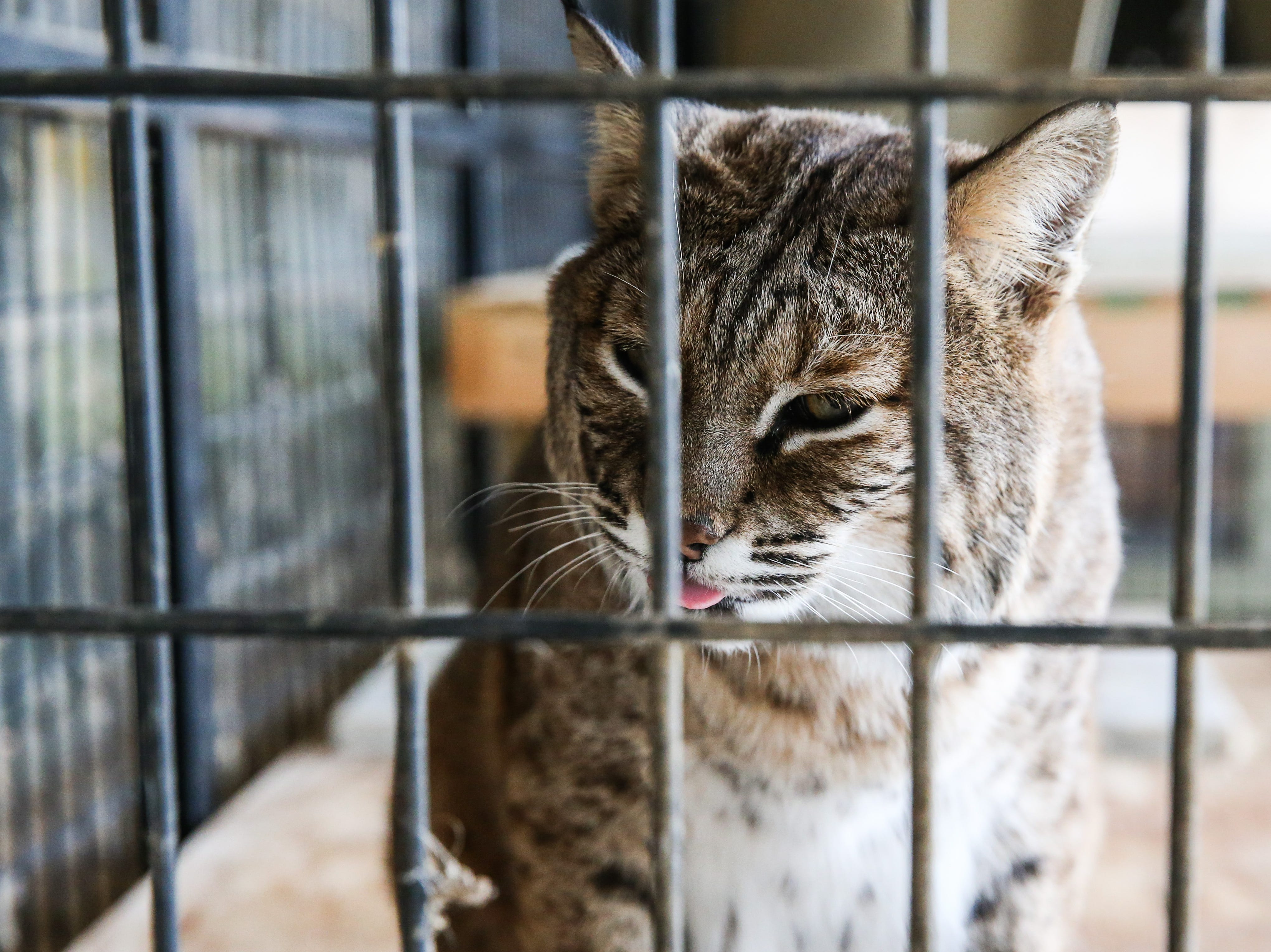 Simba and Nala, are sibling bobcats. Simba had an ear infection that left his ear damaged so he is easy to tell apart from his sister. They were kept as pets for a while before given to the center. They like to eat ground turkey and rats and deer.