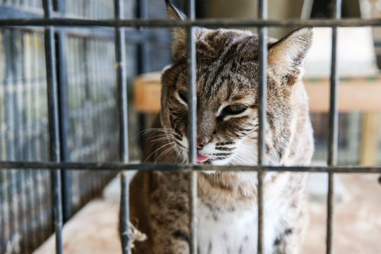 Simba and Nala, are sibling bobcats who live at the San Angelo Nature Center.