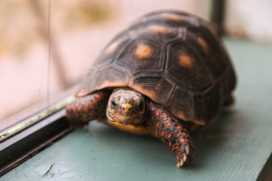 Michelangelo, a red footed tortoise, came in over the summer from a family moving out-of-state. He is usually outside in the garden, but he doesn't borrow for the winter so he spends the winter inside the center.