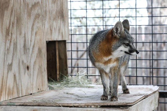 Crash was brought in to be rehabbed after an accident, because he broke his leg. He was in rehab for so long that he couldn't be released back to the wild. His favorite food is chicken gizzards and red grapes.