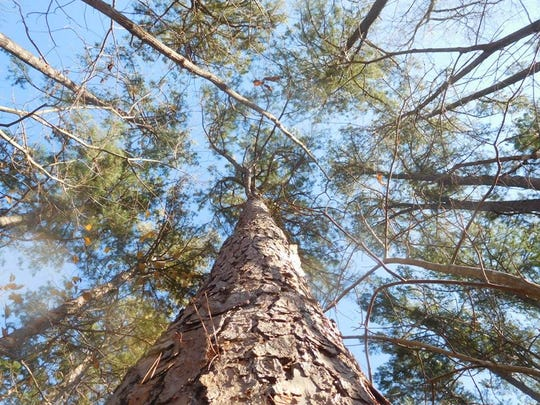 Tall stands of shortleaf pine like these will greet hikers when Bryant Creek State Park eventually opens.