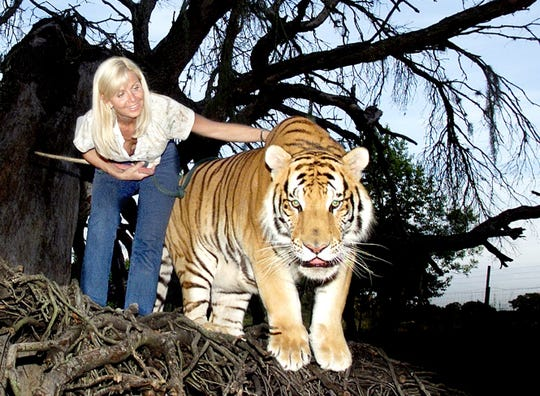Gloria Johnson and TJ, a 2 year old golden Siberian tiger weighing in at 450 pounds, explore the trunk of an old live oak tree on the Savage Kingdom compound near Bushnell.