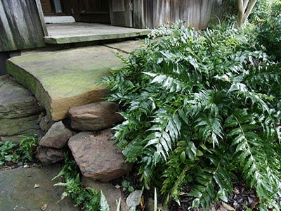 Holly fern is ideal for shady areas under trees.
