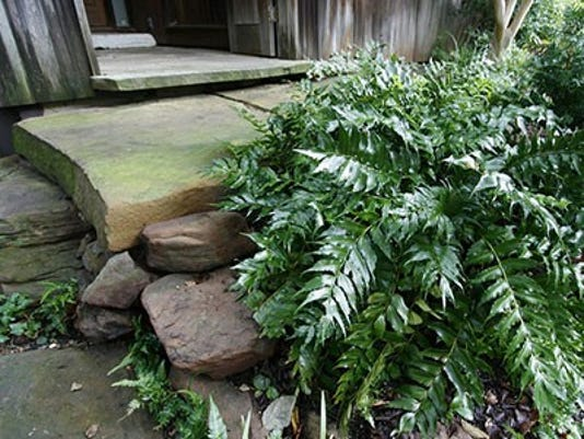 Holly Fern Is Ideal For Shady Areas Under Trees Ufifas