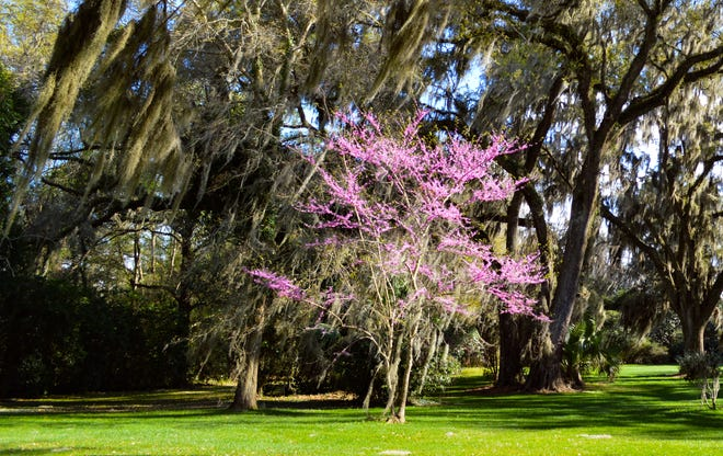 Plant trees, such as redbud, that flower in late winter if you want to start the spring flowering season earlier.