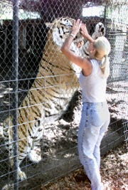 """FILE PHOTO OF TIGER THAT KILLED A HANDLER TODAY.  IN THIS PHOTO A DIFFERENT HANDLER IS WITH THE TIGER. One of the tiger handlers at Savage Kingdom near Bushnell pals around  with """"Tijek"""" , in this file photo from June of this year (the tiger handler is 5.6"""" tall and the tiger is standing in an 18"""" hole).  Today, the 500 pound Siberian attacked another (DIFFERENT) handler and killed him as he repaired the cage."""
